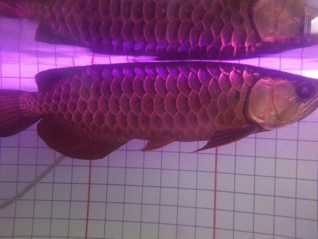大家帮忙看看这个月1700怎么样谢啦 北京观赏鱼 北京龙鱼第6张