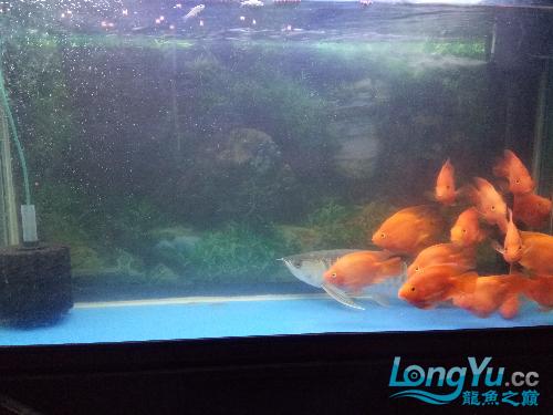 求大神看看这龙怎么了 北京观赏鱼 北京龙鱼第1张