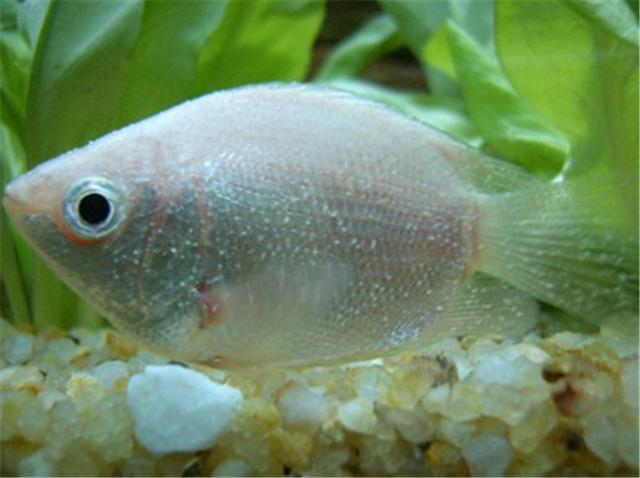 北京 魟鱼刚入缸的小金头过背 北京观赏鱼