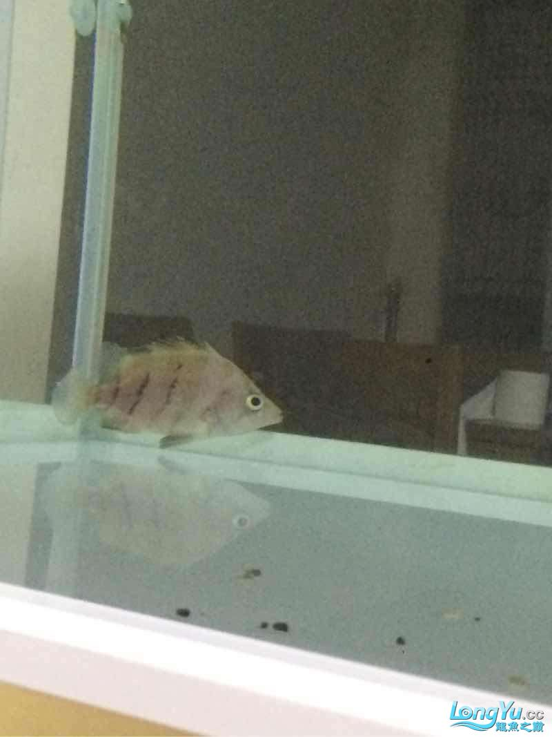 小虎进缸打个卡 北京观赏鱼 北京龙鱼第2张