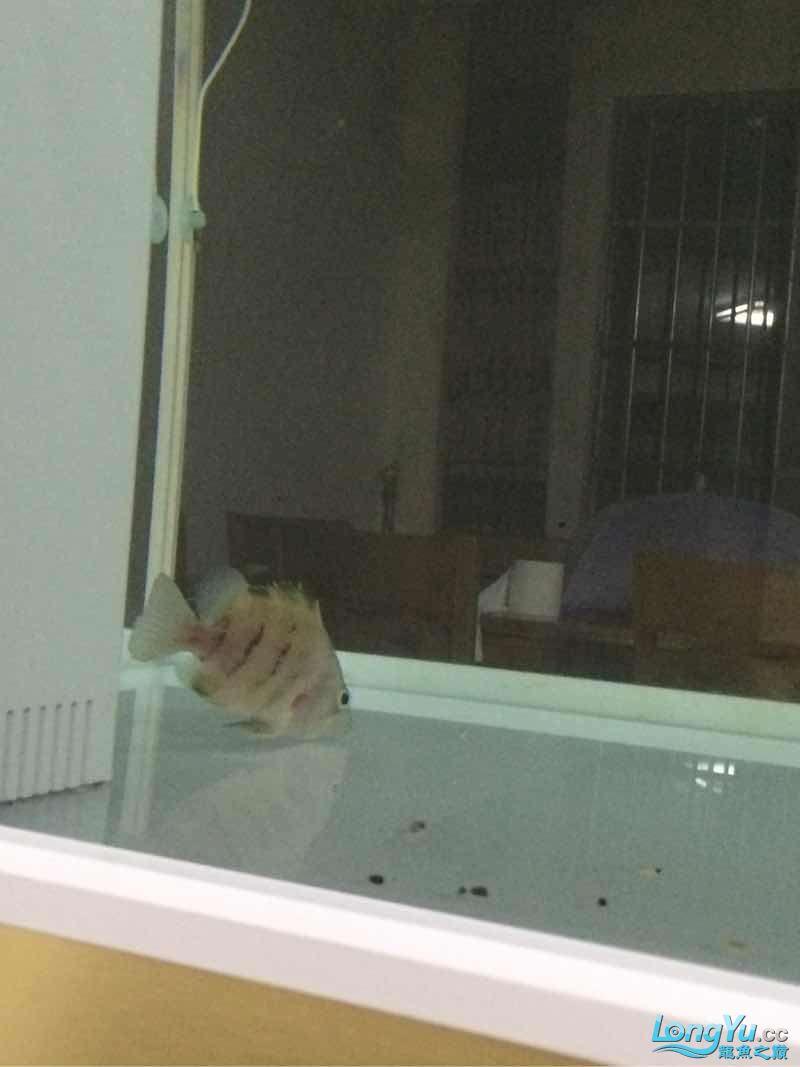 小虎进缸打个卡 北京观赏鱼 北京龙鱼第4张