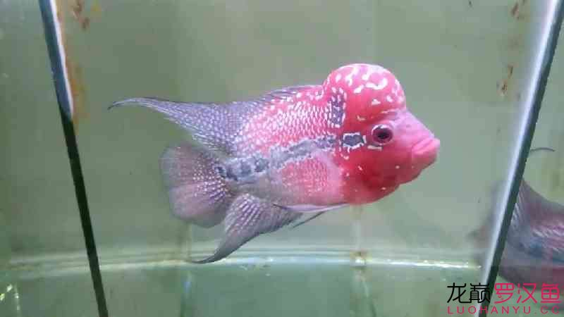 这款300出头你们感觉值吗 北京观赏鱼 北京龙鱼第1张