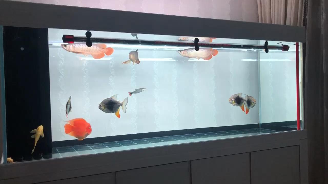 又大了一点 北京龙鱼论坛 北京龙鱼第1张