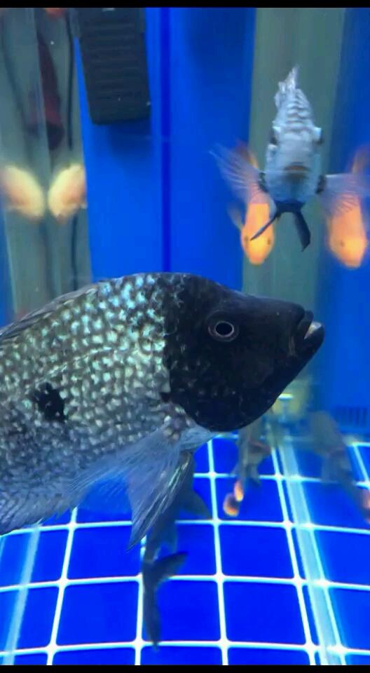 北京三间鼠鱼黑脸两个礼拜了 北京观赏鱼 北京龙鱼第1张