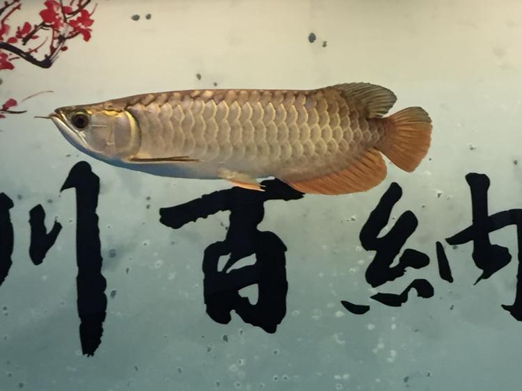 十万火急 北京龙鱼论坛 北京龙鱼第1张