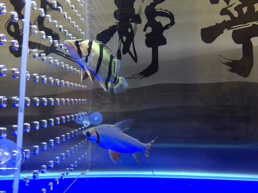 第一次养虎应该注意什么? 北京观赏鱼 北京龙鱼第1张