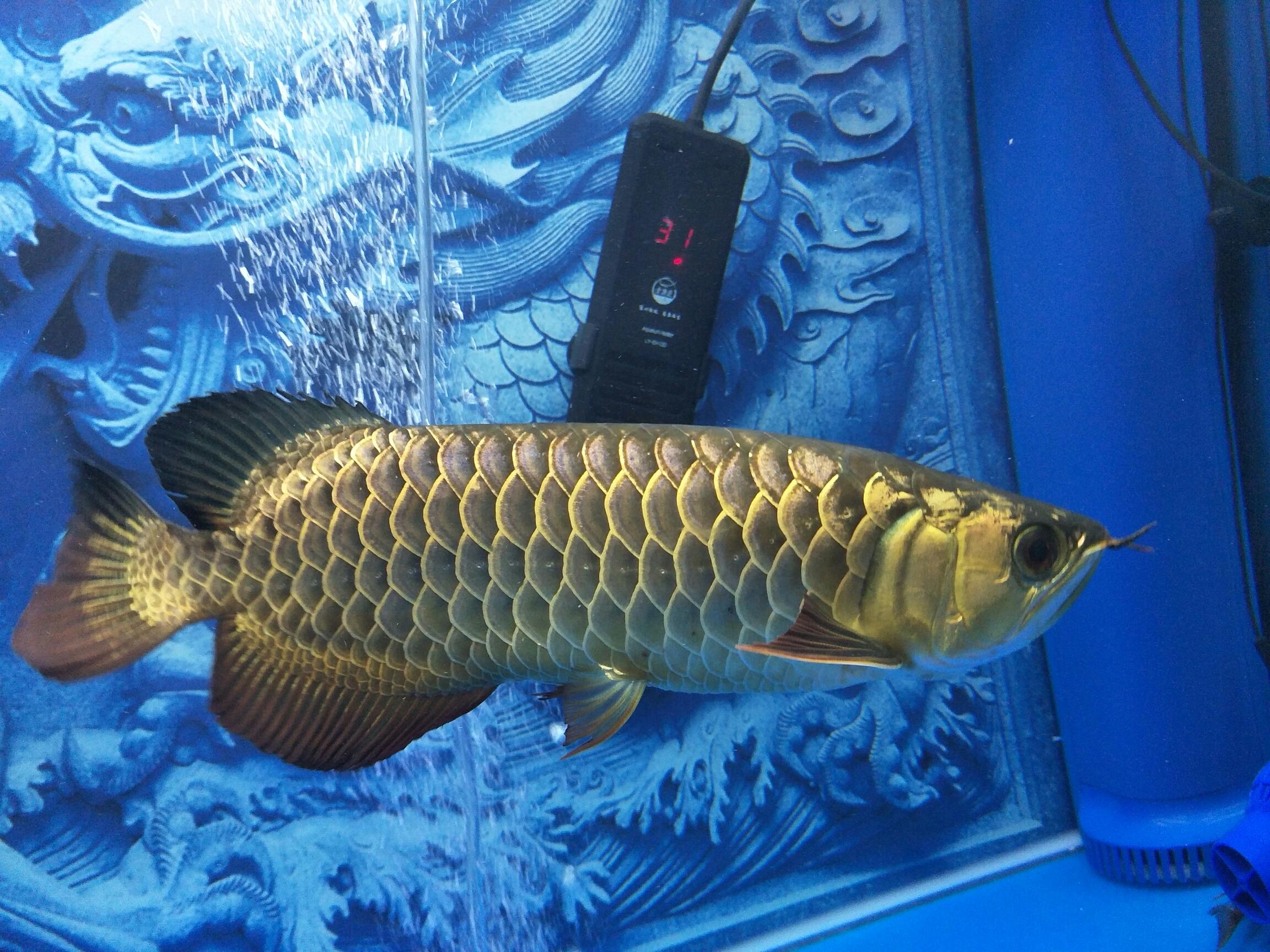 北京玫瑰银板鱼批发新收留的来了就开始抢龙王 北京龙鱼论坛 北京龙鱼第2张