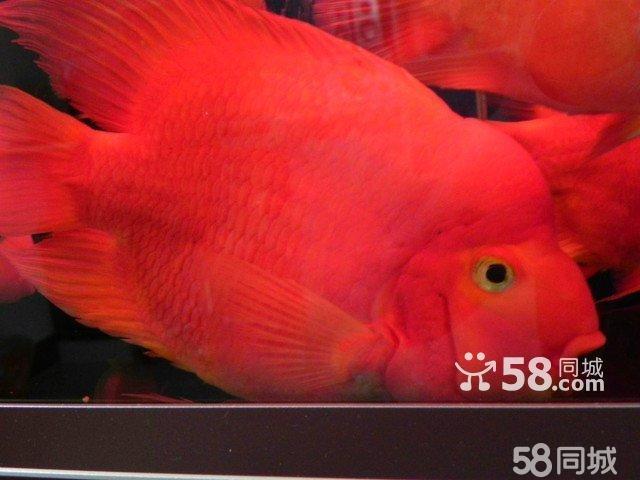 这货嘴欠准备捞出来放生了 北京观赏鱼