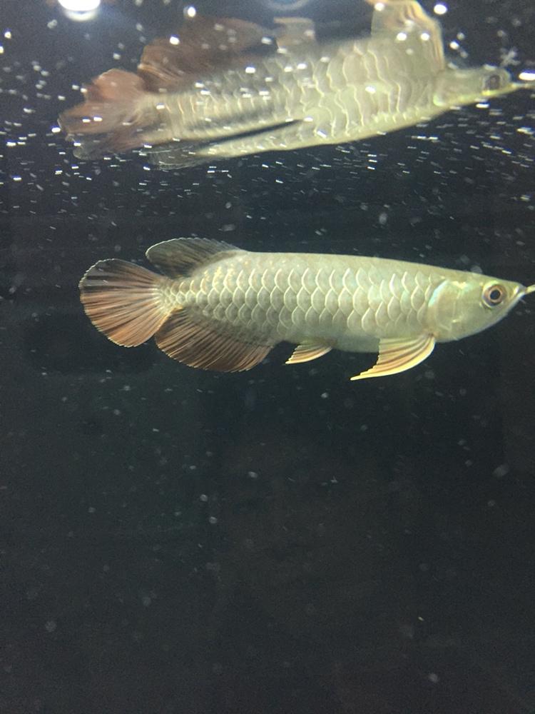 用白色背景吗 北京观赏鱼 北京龙鱼第2张