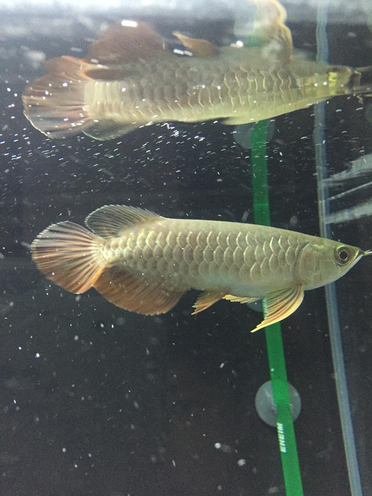 用白色背景吗 北京观赏鱼 北京龙鱼第4张