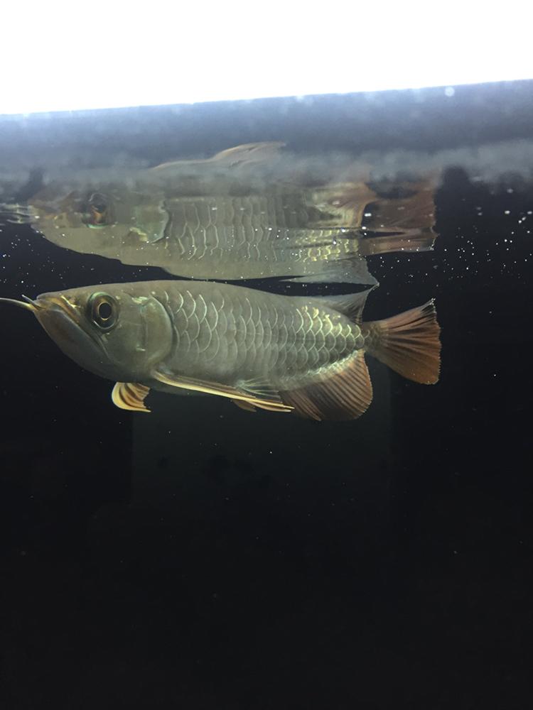 用白色背景吗 北京观赏鱼 北京龙鱼第3张