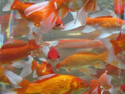 锦鲤鱼缸水面有泡沫的原因和处理 北京观赏鱼