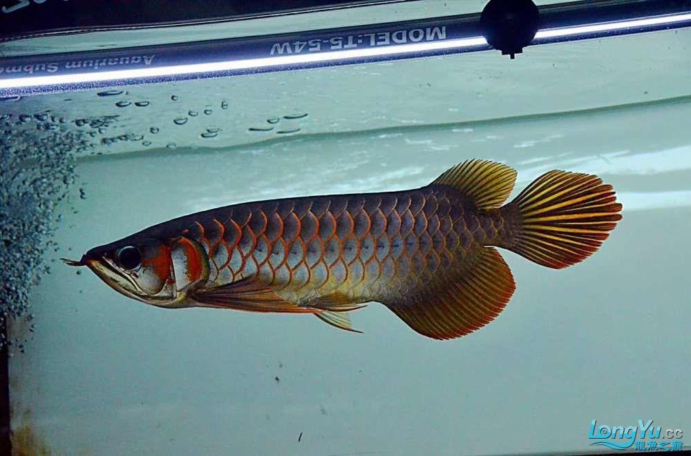 浅谈龙鱼灯光发色与掉眼协调调整 北京观赏鱼 北京龙鱼第1张