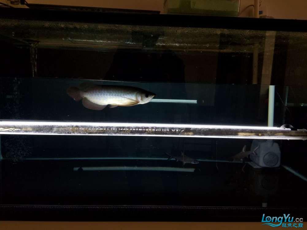 浅谈龙鱼灯光发色与掉眼协调调整 北京观赏鱼 北京龙鱼第2张