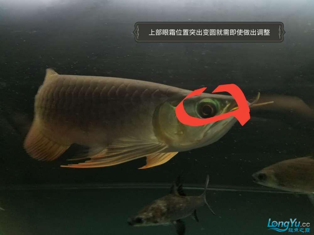 浅谈龙鱼灯光发色与掉眼协调调整 北京观赏鱼 北京龙鱼第3张