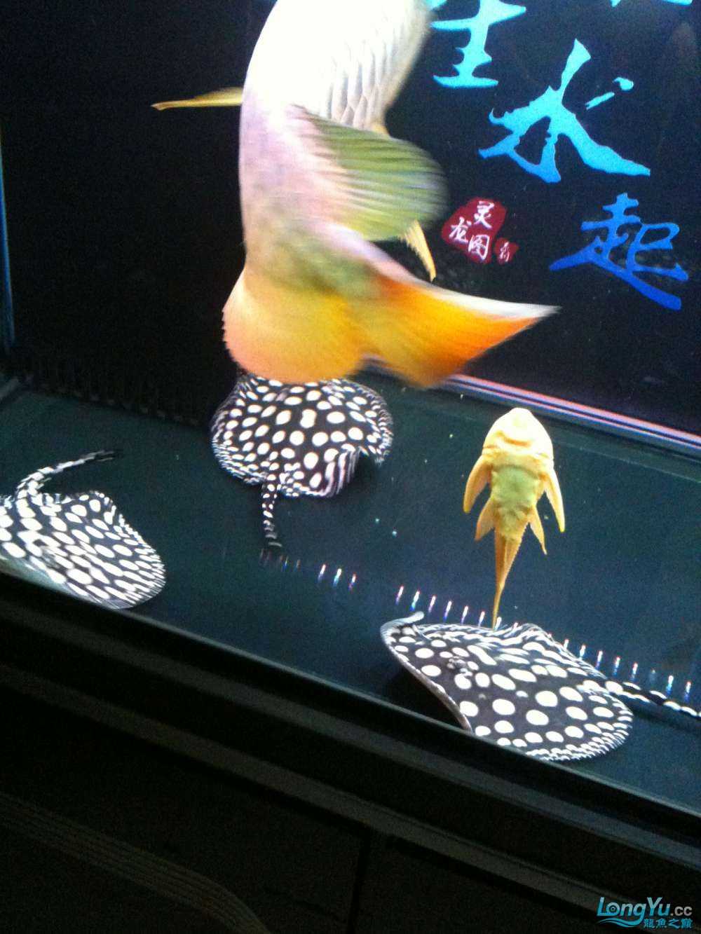 品相不错的纯血皇冠 北京观赏鱼 北京龙鱼第3张