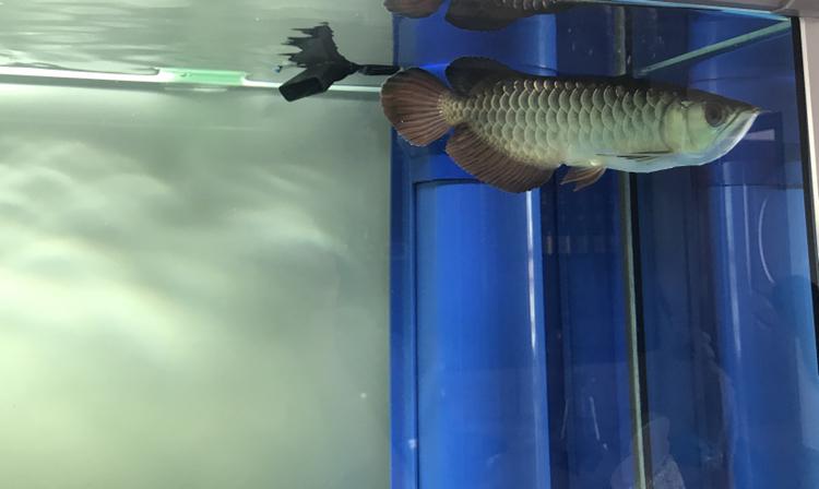 虽然是高背越养越喜欢 北京观赏鱼 北京龙鱼第2张