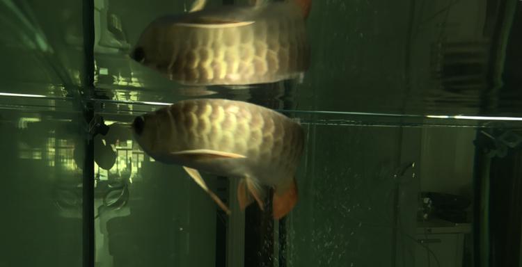 虽然是高背越养越喜欢 北京观赏鱼 北京龙鱼第3张