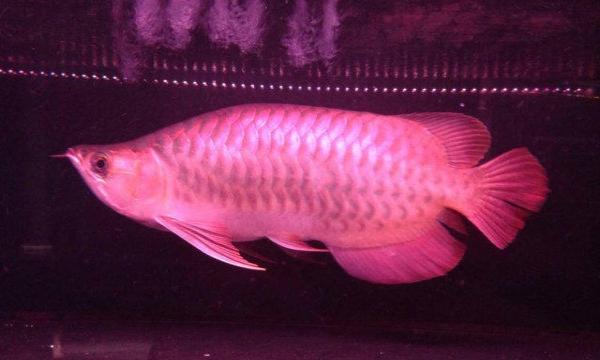 预防龙鱼掉眼 北京观赏鱼