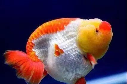 回头看一看 北京观赏鱼 北京龙鱼第3张