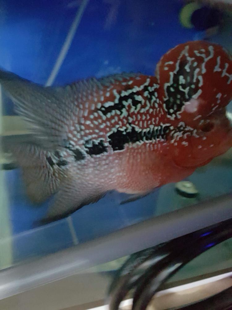 看看这鱼在国内值多钱? 北京观赏鱼 北京龙鱼第1张