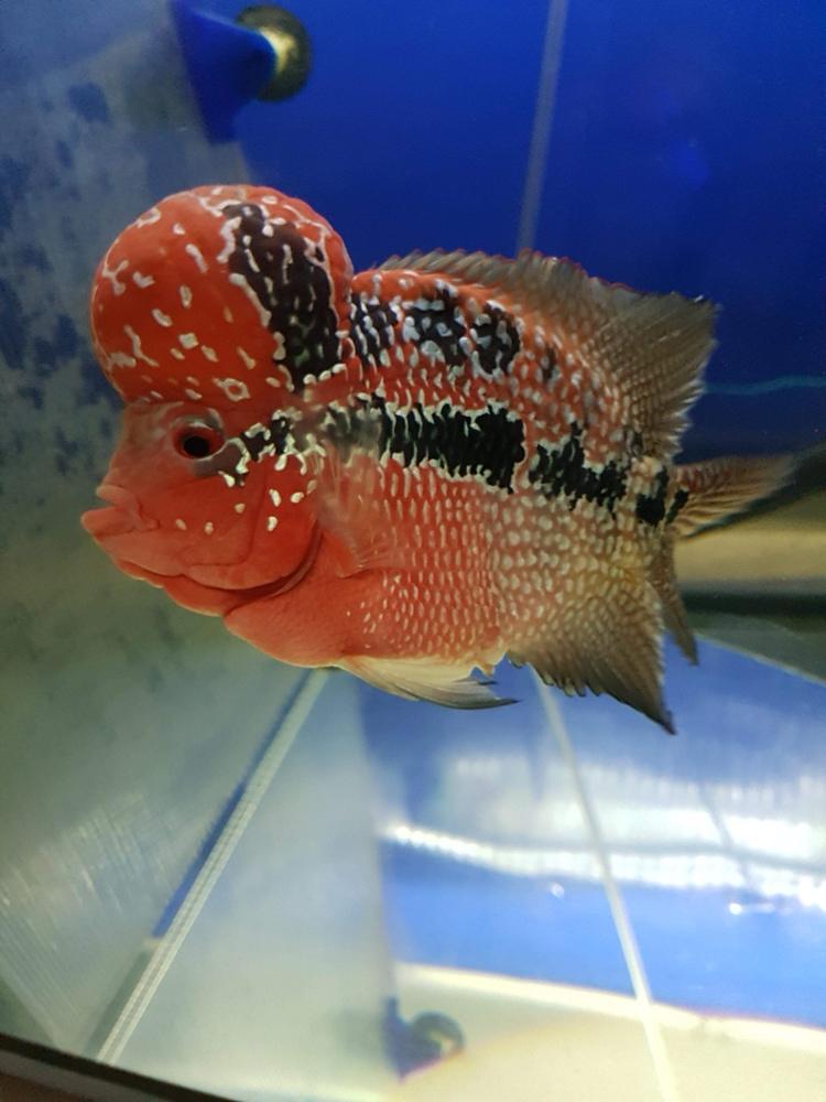 看看这鱼在国内值多钱? 北京观赏鱼 北京龙鱼第2张