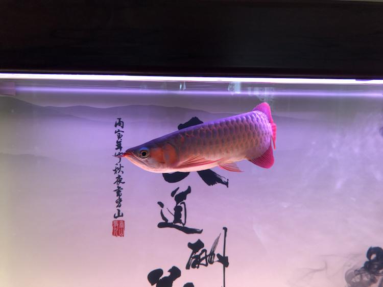 新缸请教 北京观赏鱼 北京龙鱼第2张