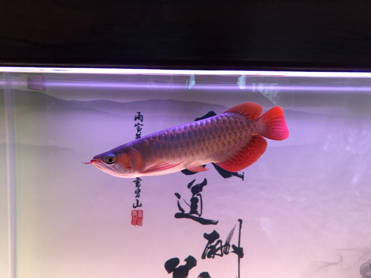 新缸请教 北京观赏鱼 北京龙鱼第3张