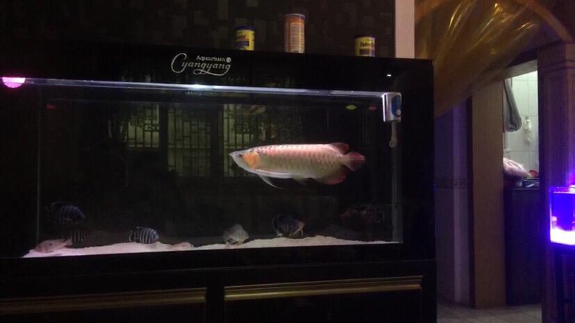 北京哪家有黑白皇冠魟鱼不折腾会死掉 北京龙鱼论坛 北京龙鱼第4张