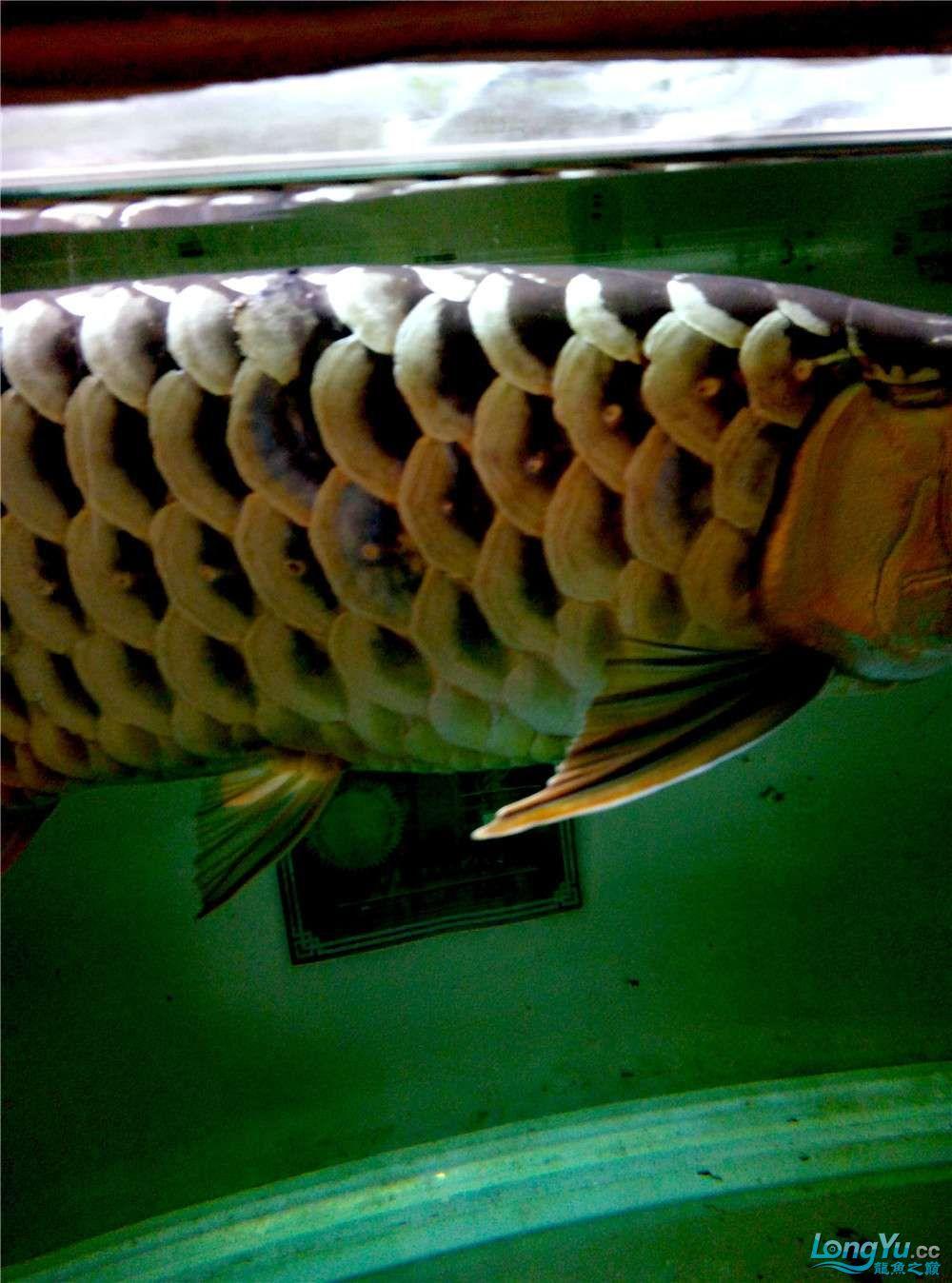 出售50公分左右金龙鱼 北京观赏鱼 北京龙鱼第2张