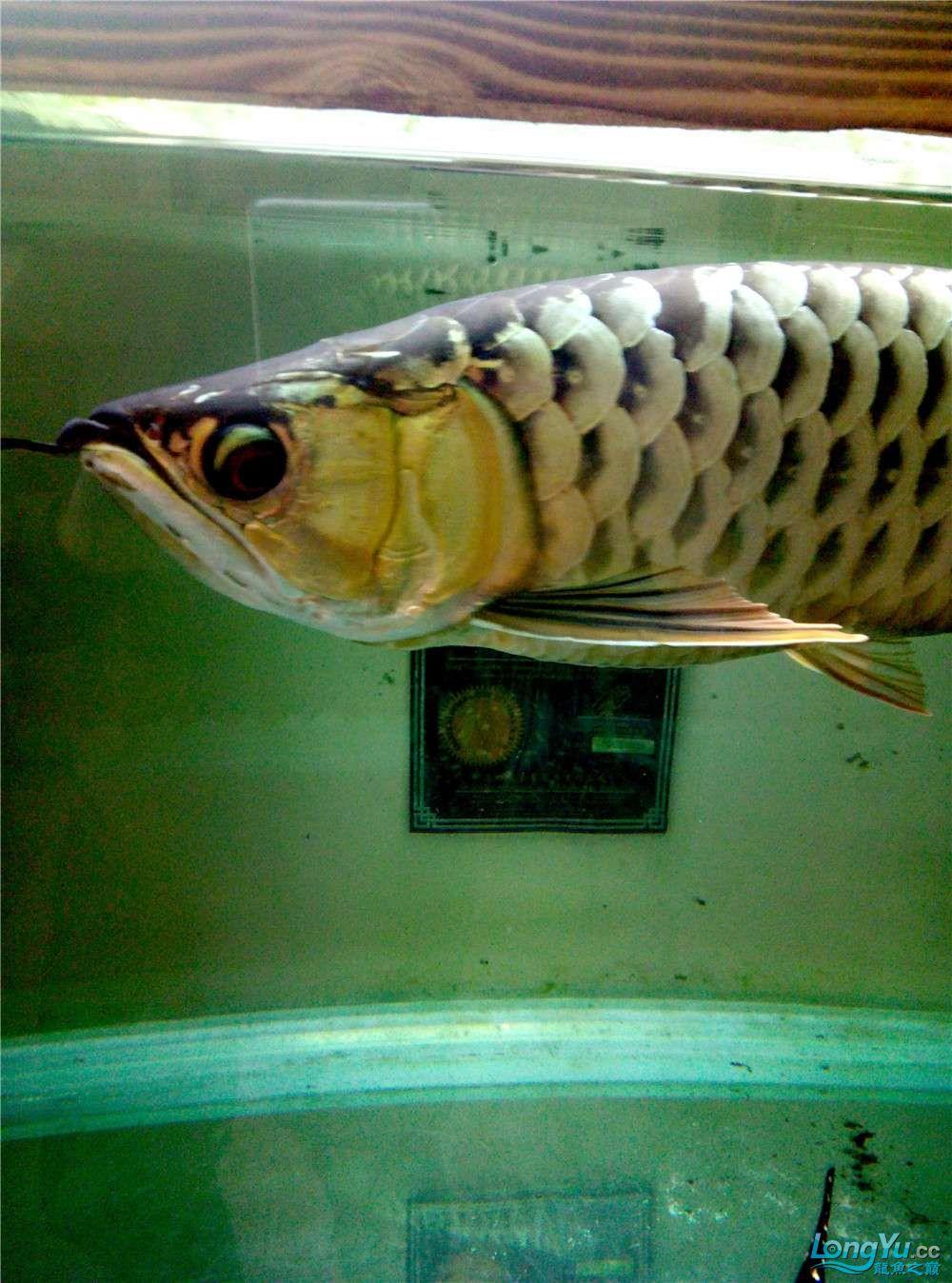 出售50公分左右金龙鱼 北京观赏鱼 北京龙鱼第3张