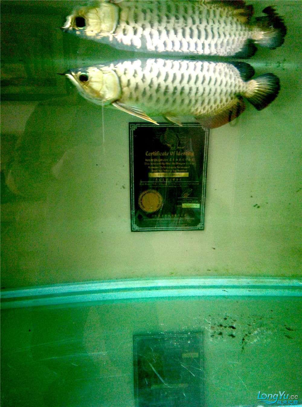 出售50公分左右金龙鱼 北京观赏鱼 北京龙鱼第4张