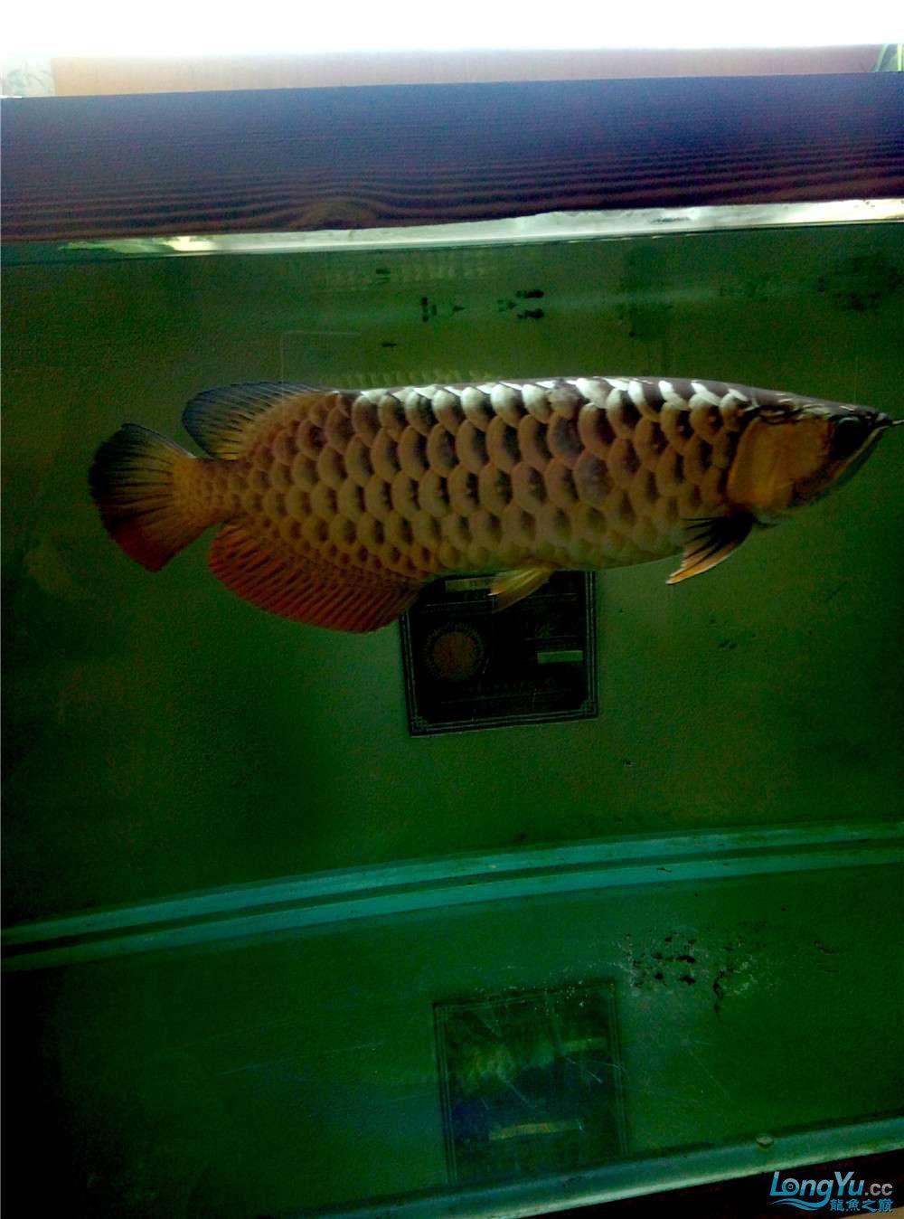 出售50公分左右金龙鱼 北京观赏鱼 北京龙鱼第5张