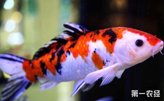 北京观赏鱼之家论坛五条龙的混养体型差的比较大 北京观赏鱼