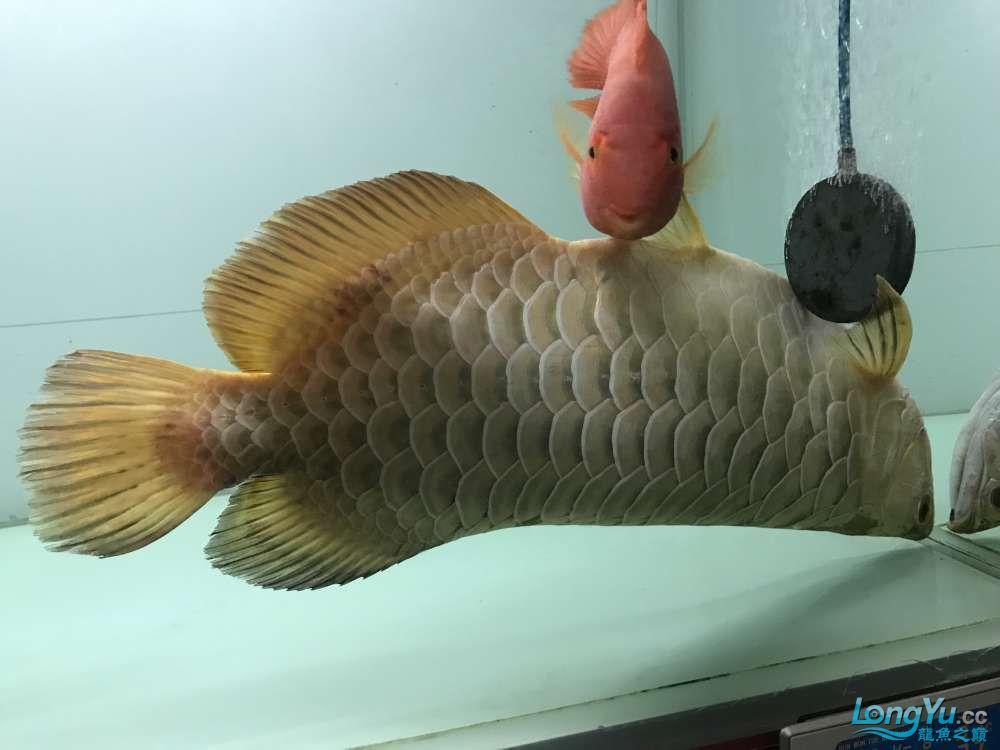4年金龙跳缸求救奄奄一息 北京观赏鱼 北京龙鱼第3张