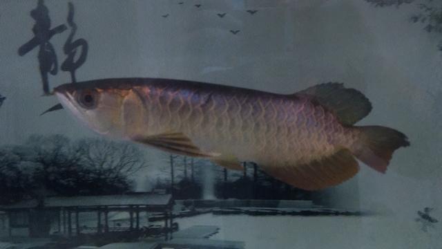 北京花鸟市场图片鱼儿蹭缸 北京观赏鱼 北京龙鱼第1张