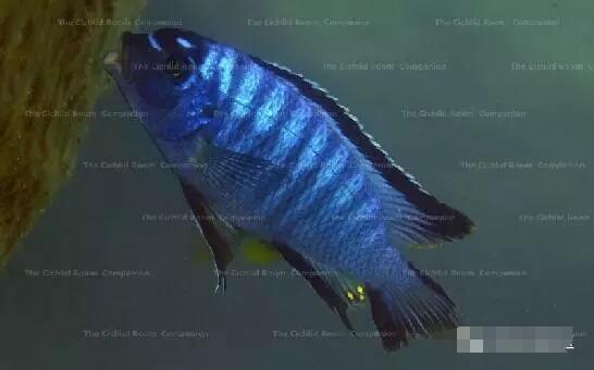 又中毒了最近迷上了马湖龙王准备入手 北京观赏鱼 北京龙鱼第3张