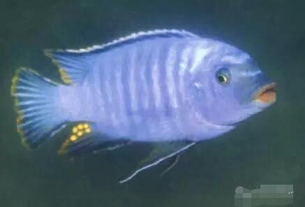 又中毒了最近迷上了马湖龙王准备入手 北京观赏鱼 北京龙鱼第4张
