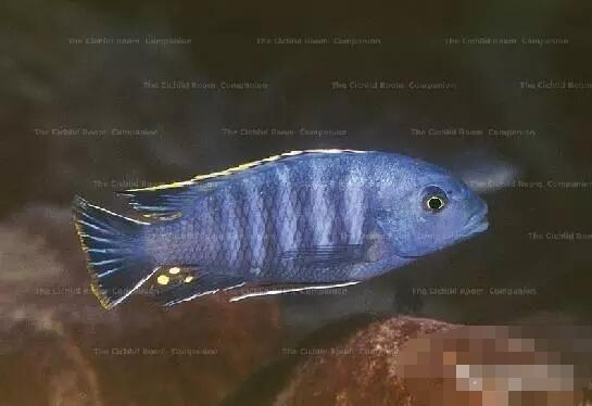 又中毒了最近迷上了马湖龙王准备入手 北京观赏鱼 北京龙鱼第2张