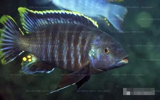 又中毒了最近迷上了马湖龙王准备入手 北京观赏鱼 北京龙鱼第8张