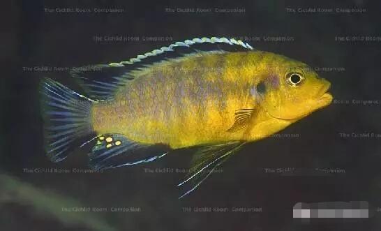 又中毒了最近迷上了马湖龙王准备入手 北京观赏鱼 北京龙鱼第7张