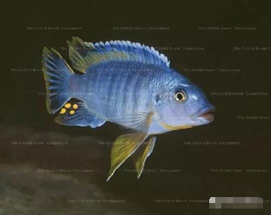 又中毒了最近迷上了马湖龙王准备入手 北京观赏鱼 北京龙鱼第9张