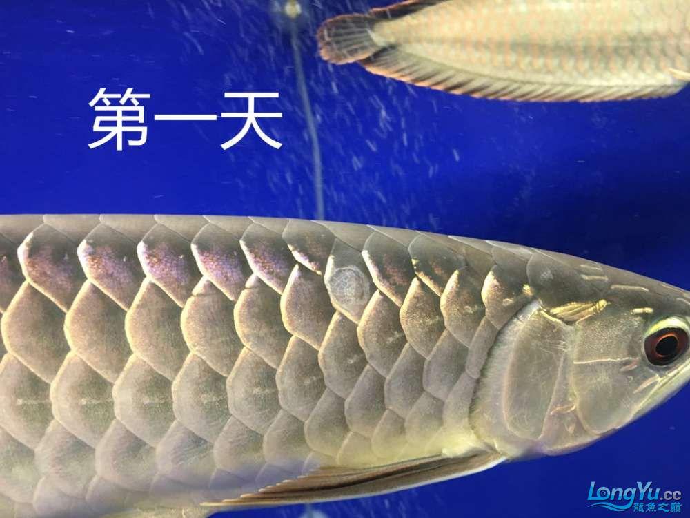 这是怎么了?算是蚀鳞吗?我看别人不是这样啊第4天了 北京观赏鱼 北京龙鱼第2张