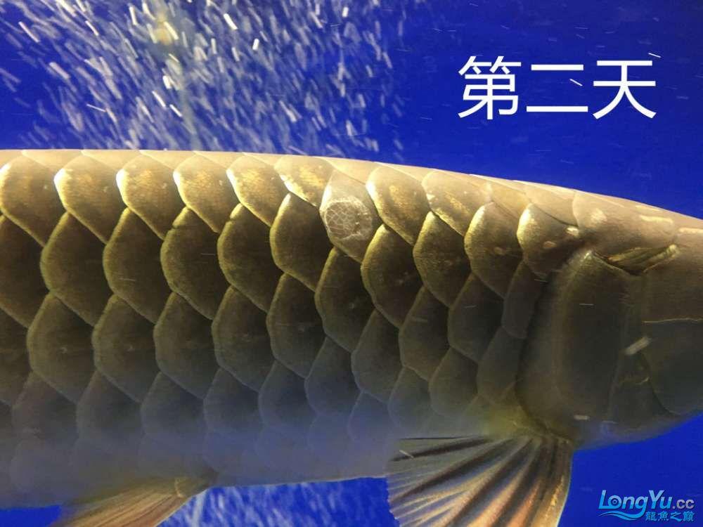 这是怎么了?算是蚀鳞吗?我看别人不是这样啊第4天了 北京观赏鱼 北京龙鱼第3张