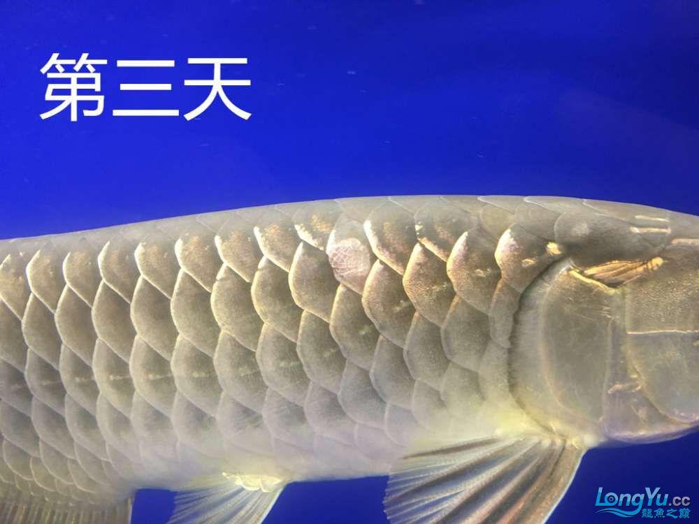 这是怎么了?算是蚀鳞吗?我看别人不是这样啊第4天了 北京观赏鱼 北京龙鱼第4张