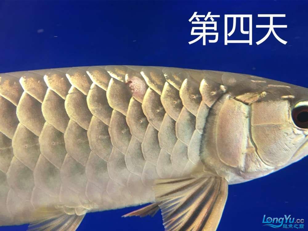 这是怎么了?算是蚀鳞吗?我看别人不是这样啊第4天了 北京观赏鱼 北京龙鱼第5张