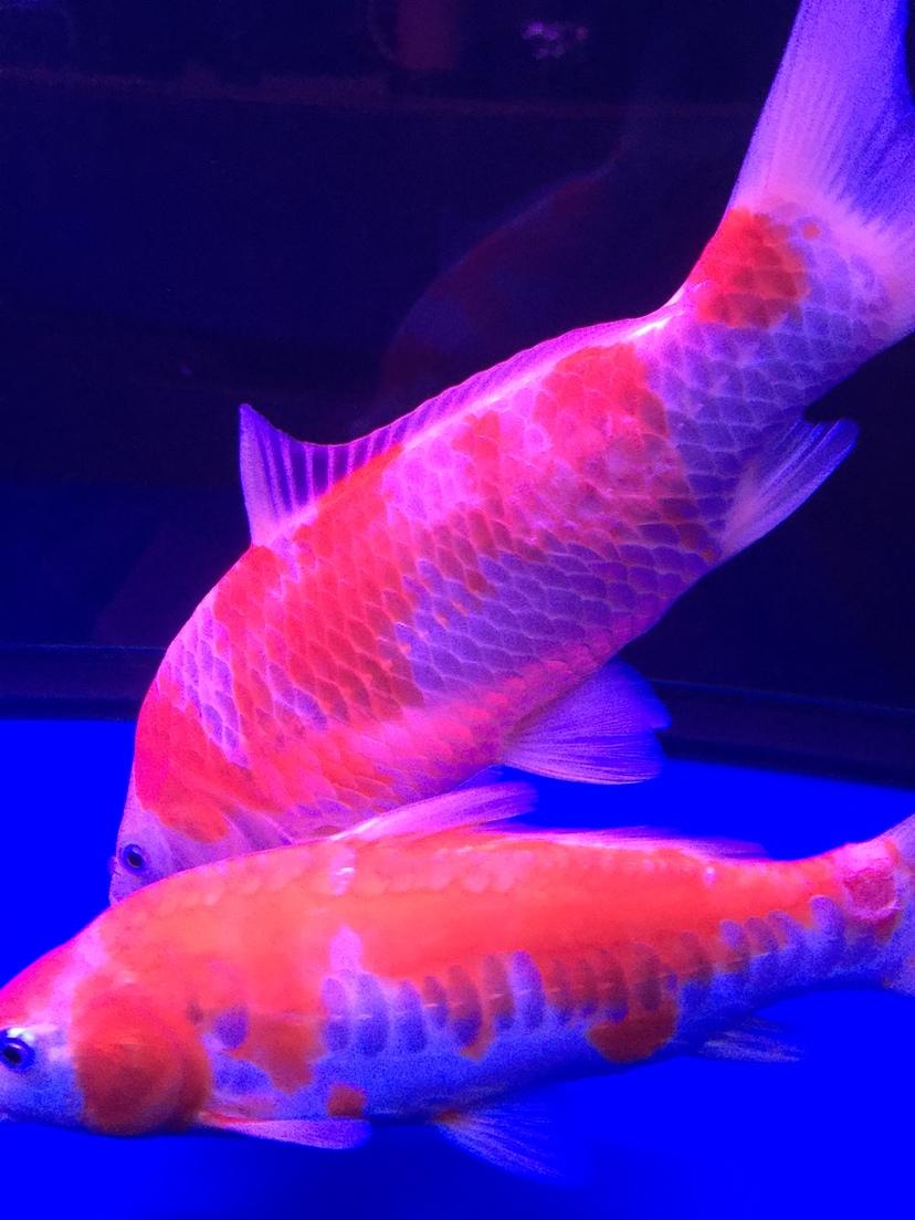 北京斑马鱼养殖架锦鲤烂尾烂肉 脱鳞 北京观赏鱼 北京龙鱼第5张
