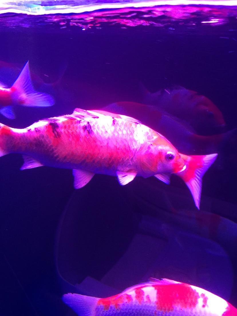 北京斑马鱼养殖架锦鲤烂尾烂肉 脱鳞 北京观赏鱼 北京龙鱼第2张