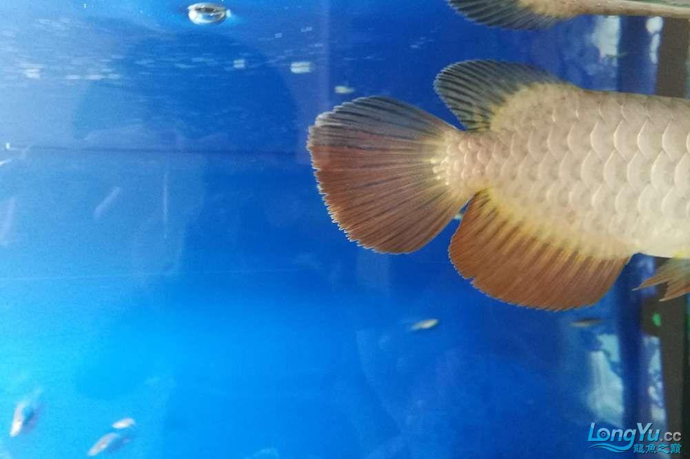 大神帮忙看看这条鱼能过背吗? 北京龙鱼论坛 北京龙鱼第3张