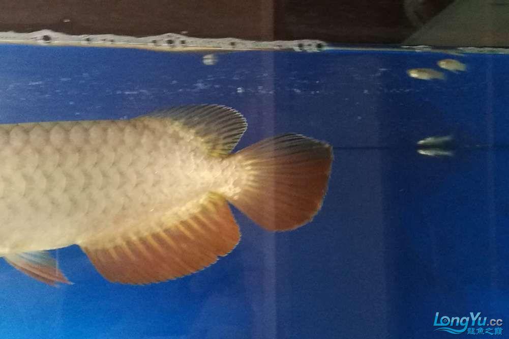 大神帮忙看看这条鱼能过背吗? 北京龙鱼论坛 北京龙鱼第4张